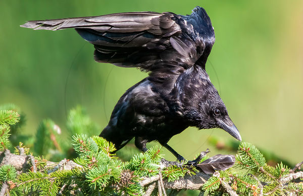 Corneille noire - Carrion crow (Corvus corone)