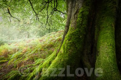 Old mossy tree in Lake District woodland.