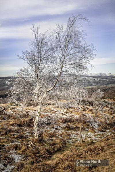 WHITBARROW 22B - Frosted birch