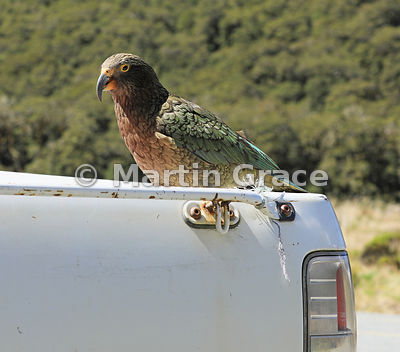 Juvenile Kea (Nestor notabilis) hitching a ride on a pick-up truck, Te Anau-Milford Highway, Fiordland National Park, South I...