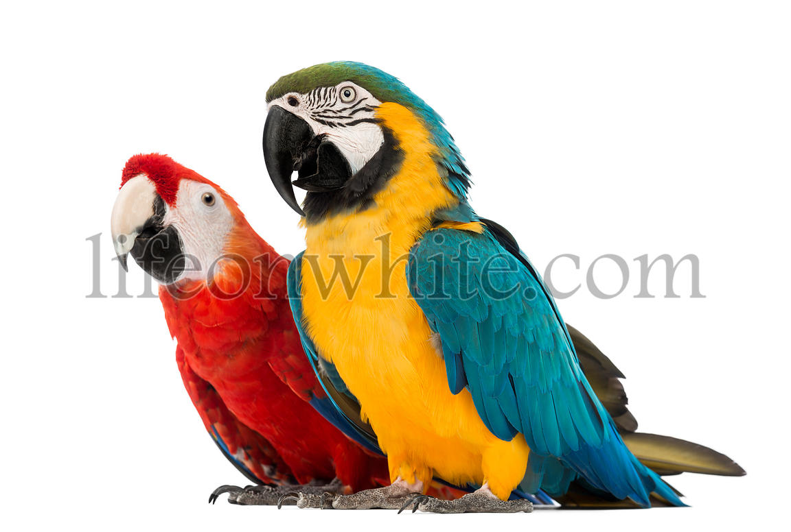 Blue-and-yellow Macaw, Ara ararauna, 30 years old, and Green-winged Macaw, Ara chloropterus, 1 year old, in front of white ba...