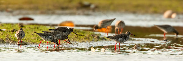 Chevalier gambette - Common Redshank (Tringa totanus)