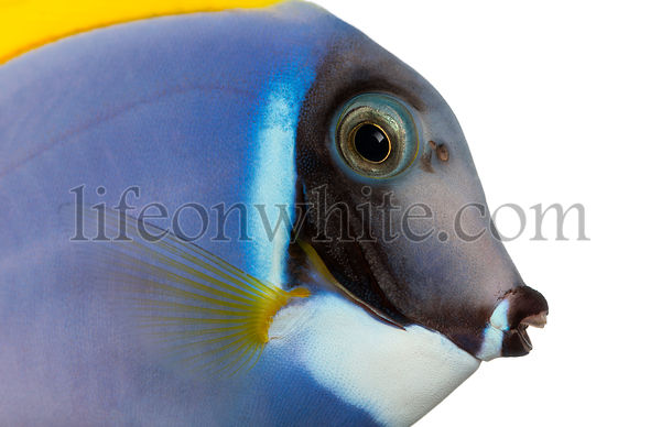 Close-up of a Powder blue tang profile, Acanthurus leucosternon, isolated on white
