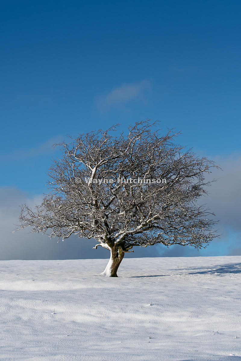 Isolated Hawthorn tree on moorland, covered in snow. Cumbria, UK.