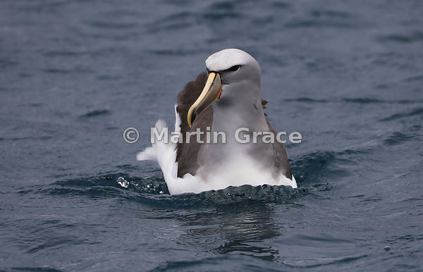 Salvin's Mollymawk (Salvin's Albatross) (Thalassarche salvini), Kaikoura Coast, Canterbury, South Island, New Zealand