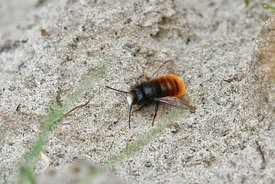 Closeup of a fresh colored male of the horned orchard mason bee , Osmia cornuta sunning on sandy soil