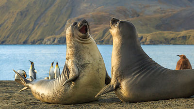 Elephant Seal Pups Playfighting