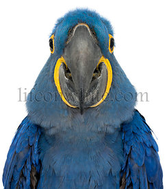 Hyacinth Macaw, Anodorhynchus hyacinthinus, 30 years old, portrait and close up against white background