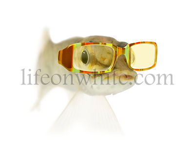 Young Northern pike - Esox lucius, wearing sunglasses, isolated on white