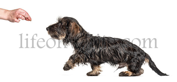 Training in progress Dachshund dog following food, isolated on white