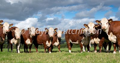 Herd of Hereford cattle in pasture land near Kirkby Lonsdale with Barbondale fells in the background, Cumbria, UK.