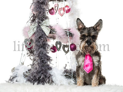 Schnauzer sitting next to Christmas decoration against white background