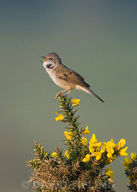 Whitethroat Sylvia communis in song Minsmere RSPB Reserve May