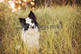 Border collie sitting in grasses