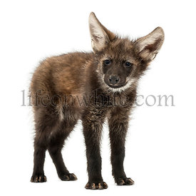 Maned wolf cub standing, looking at the camera, Chrysocyon brachyurus, isolated on white