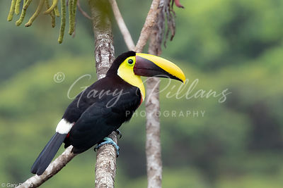 Yellow Throated Toucan
