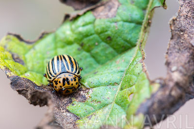 Leptinotarsa decemlineata-'Colorado Beetle 'on potatoes leaves -Summer-France