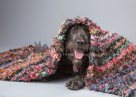 Shaggy medium sized dog plays peek a boo from under color striped rug on seemless paper background