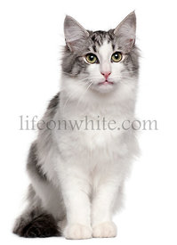 Norwegian Forest Cat, 5 months old, sitting in front of white background