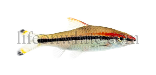 Side vie of a Denison barb, fish, Sahyadria denisonii, isolated on white