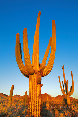 Saguaro  (lat. carnegiea gigantea) - North America, USA, Arizona, Pima, Tucson, Tucson Mountain Country Park, McCain Loop (So...