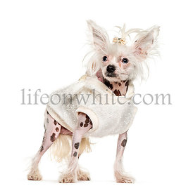 Young Chinese Crested Dog dressed-up, isolated on white