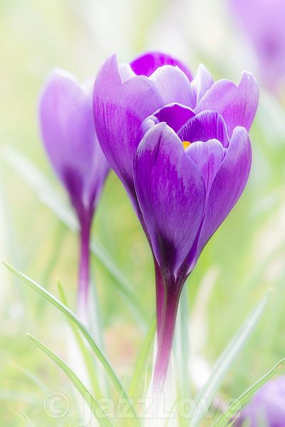 Crocus blossom in spring