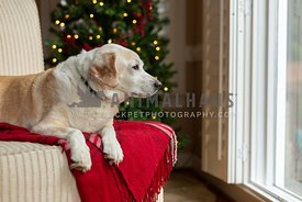 Dog looking out window in front of Christmas Tree