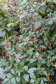 Mulberry-raspberry (Rubus x) 'Tayberry' in fruit in summer, Lot, France ∞ Rubus 'Tayberry', en fruit, France, Lot, été