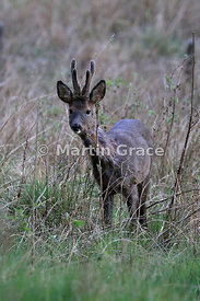 Roe Deer buck (Capreolus capreolus) with antlers in velvet, Cairngorm National Park, Badenoch, Scottish Highlands