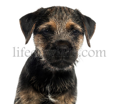 Close-up of a Border Terrier puppy, looking at the camera, isolated on white