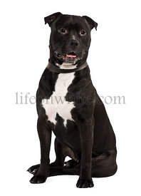 Staffordshire bull terrier, 4 years old, sitting in front of white background
