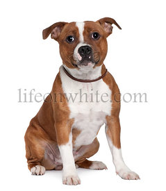 Staffordshire Bull Terrier, 8 months old, sitting in front of white background