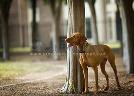 Lean muscular ridgeback dog looks out over park while leaning agaist tree