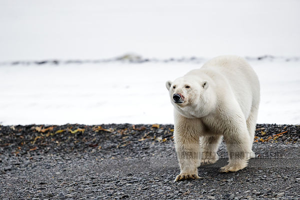 Large female polar bear on a black beach in Svalbard, Norway