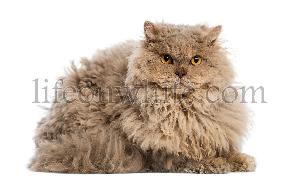 Selkirk rex lying, looking at the camera, isolated on white
