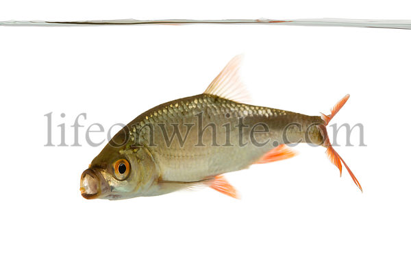 Side view of a Common roach swimming under water line, mouth opened, Rutilus rutilus, isolated on white