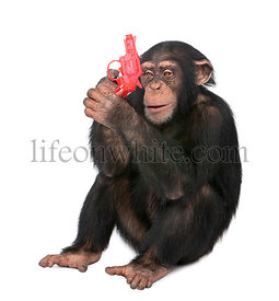 Young Chimpanzee playing with a gun (5 years old)