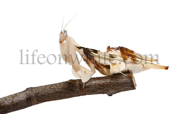Male and female hymenopus coronatus, Malaysian orchid mantis