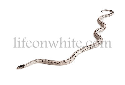 California Kingsnake, Lampropeltis getula californiae