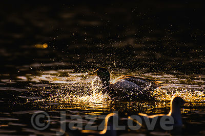 Mallard duck splashing water in lake at sunset