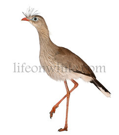 Red-legged Seriema or Crested Cariama, Cariama cristata, in front of white background