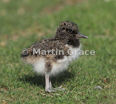 Three to four day old chick of Eurasian Oystercatcher (Haematopus ostralegus), Highland Wildlife Park car park, Kincraig, Inv...