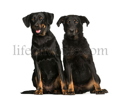 Beauceron, 6 years and 10 years old, sitting in front of white background