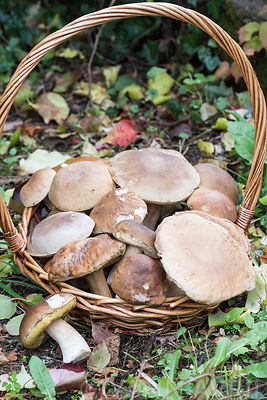 Boletus edulis - Harvest of penny bun in autumn
