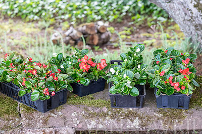 Begonia (Begonia sp) in pots before planting in spring, ∞ Begonia en godets avant plantation, France, Moselle, printemps