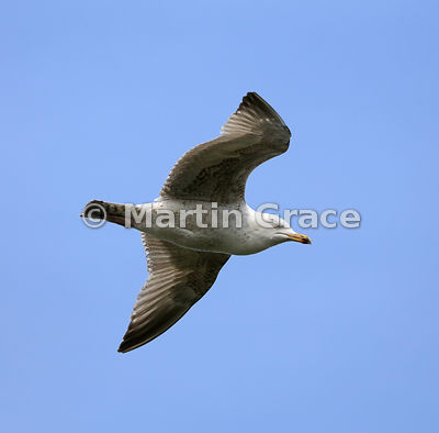 Sub-adult European Herring Gull (Larus argentatus ssp argenteus) in flight, Burghead, Moray, Scotland