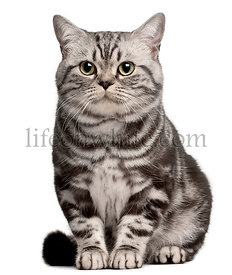 Brazilian Shorthair cat, 1 year old, sitting in front of white background