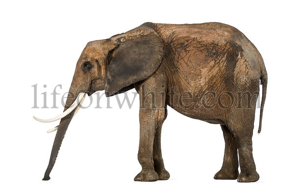 Side view of an African elephant standing still, sniffing the floor, isolated on white