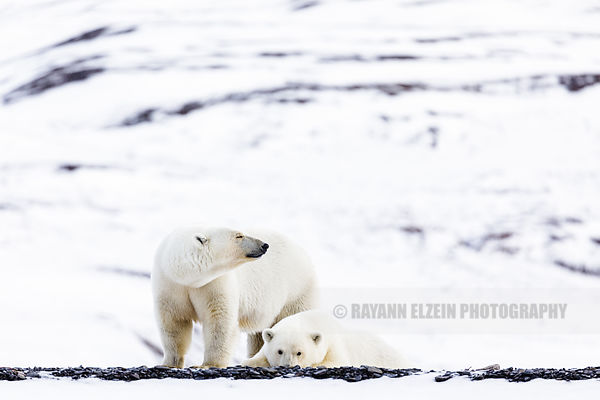 Female polar bear with one cub in Svalbard, Norway